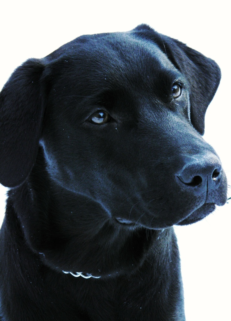 Meet Gus.: I Love Lab, Furries Friends, Meeting Gus, Black Labs