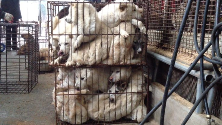 Petition · Mayor Linda Jeffrey of Brampton, Ontario: Tell Friendship City, Gapyeong, Korea, That We're Opposed to the Torture & Eating of Dogs. · Change.org