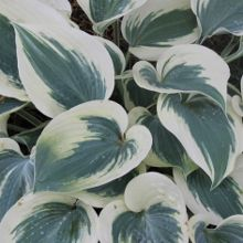 Hostas for sale buy Hosta 'Blue Ivory' PP 19,623