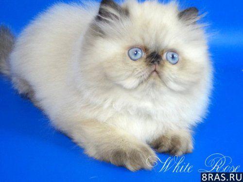 Персидский гималайский котенок Юждин | Москва объявление №4001