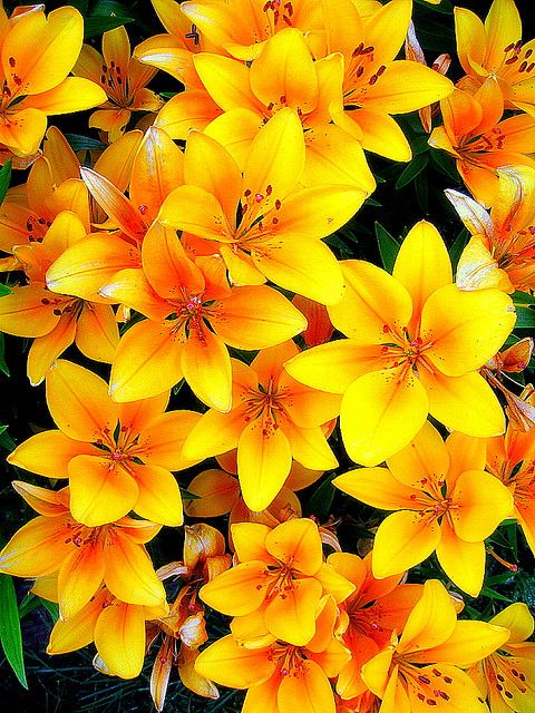 Alaska Anchorage Lily Flowers In Our Garden by MarculescuEugenIancuD60Alaska, via Flickr