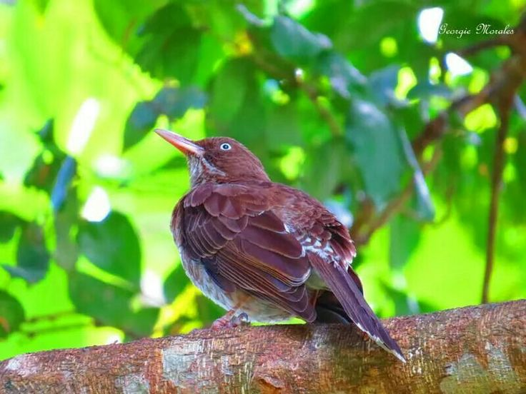El Zorzal Pardo (Pearly-eyed Thrasher) foto tomada en Rio Grande, P.R. Reside todo el año en Puerto Rico. Habita en las Bahamas, la punta sureste de la República Dominicana, Puerto Rico y a través de las Antillas Menores. Mide cerca de 1 pie. Abunda en bosques, cafetales, arboledas, palmares, jardines y patios. Se alimenta de frutas, insectos, coquíes, lagartijos, huevos y pichones de otras aves. Su hábito de depredar huevos y pichones la convierte en un enemigo importante de varias…