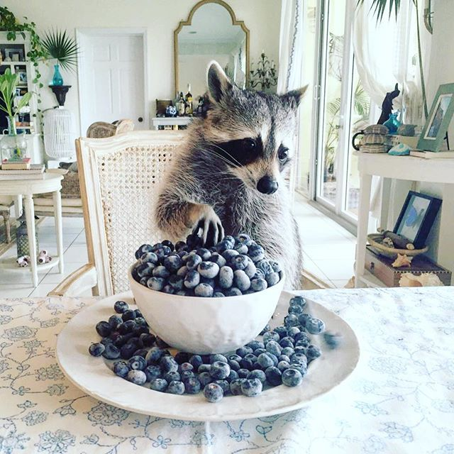 """""""It happens everytime...they all become blueberries."""" """"You've really done…"""