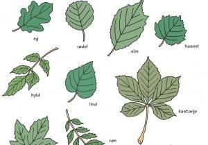 Undersøg træernes blade. Tegning: Eva Wulff.