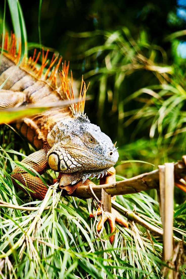 An iguana checks out the scenert bside the Rio Grande River in Belize.