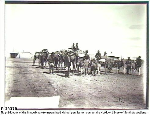 Camels and donkeys 1910