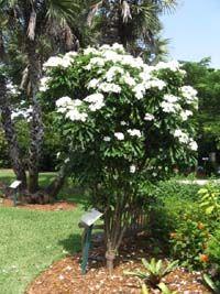 Plumeria pudica, White Frangipani