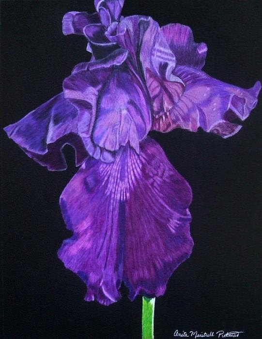 Midnight Iris, 11 x 14 rendition of a deep purple iris created using Prismacolor pencils on black Canson paper