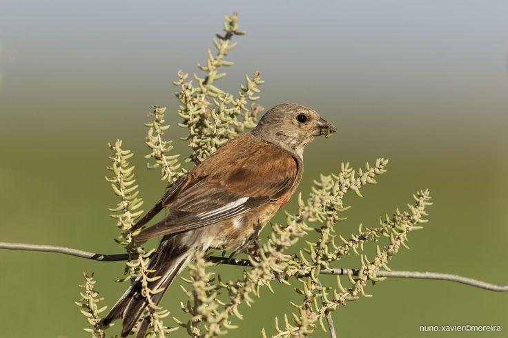 Pintarroxo-comum, Common Linnet(Carduelis cannabina)