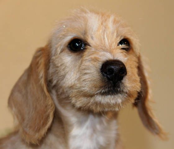 English Cream Miniature Dachshund Puppies Available In Al Az Ar