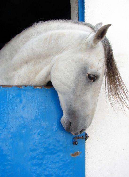 Cavalo Lusitano by photographer Carlota Jorge de Melo, olhares.sapo.pt