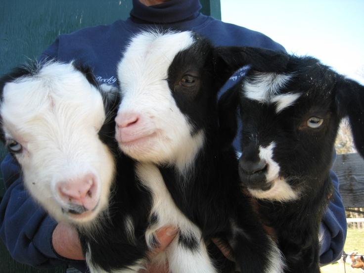 Fainting Goats :)