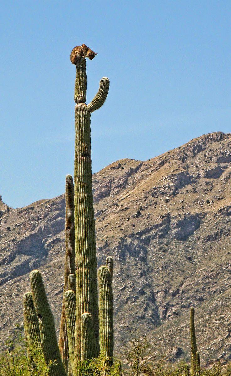 bobcat on saguaro cactus, Sabino Canyon - Arizona