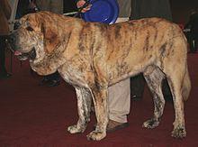 Spanish Mastiff - Spain - Livestock guardian and guard dog