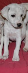 Pebbles is an adoptable Whippet Dog in Kenosha, WI. St. Francis No-Kill Animal Shelter currently has three whippet puppies for adoption. There are 1 male and 2 females available for adoption. Open up ...