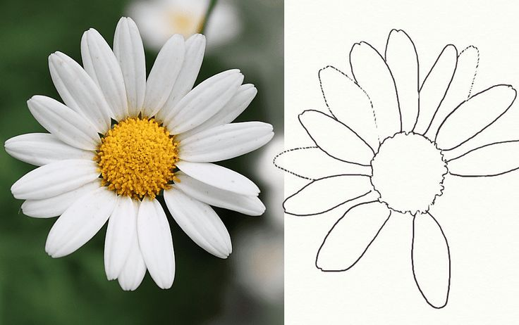 Learn how to draw a simple but realistic daisy following this short and easy flower drawing tutorial.