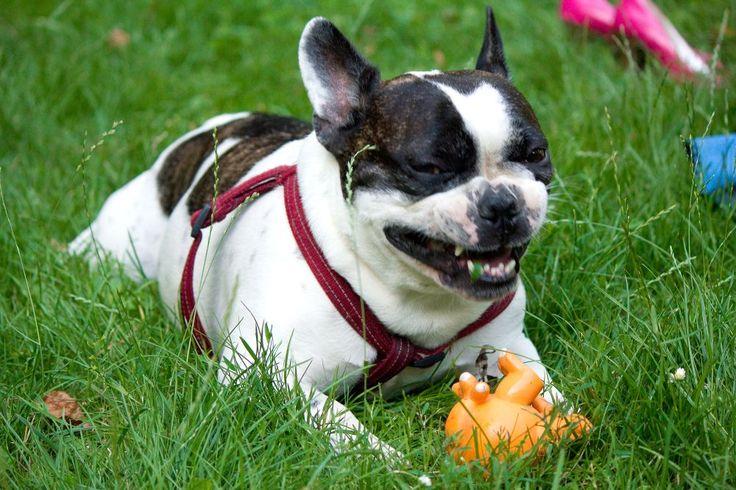 Angry dog, french bulldog | French Bulldog | Pinterest