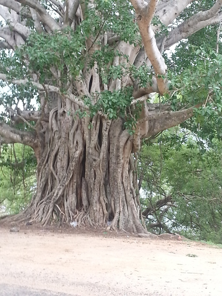 Banyan tree on the Kalaweva bund.