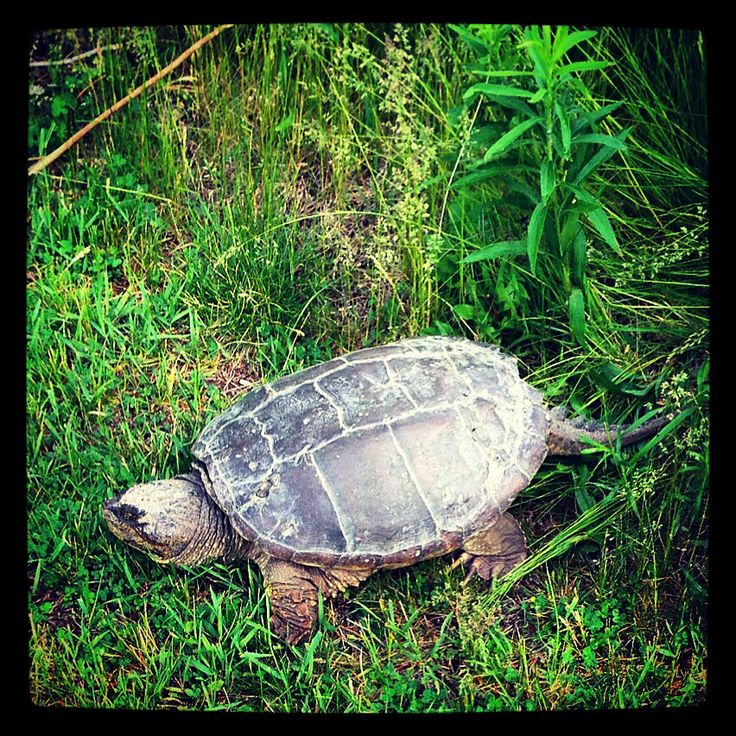 Turtle, Waterfront Trail,