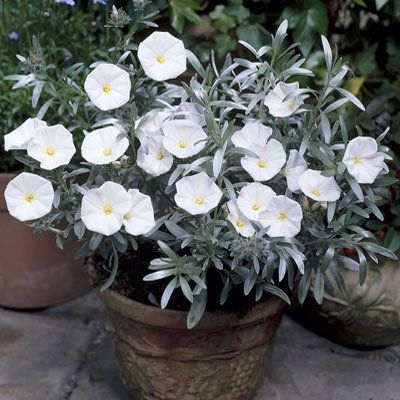 748 best plants color white images on pinterest shrub shrubs and convolvulus cneorum small medium evergreen shrub silvery leaves summer white trumpet flowers mightylinksfo