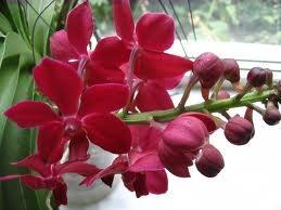 De geschiedenis van de orchidee
