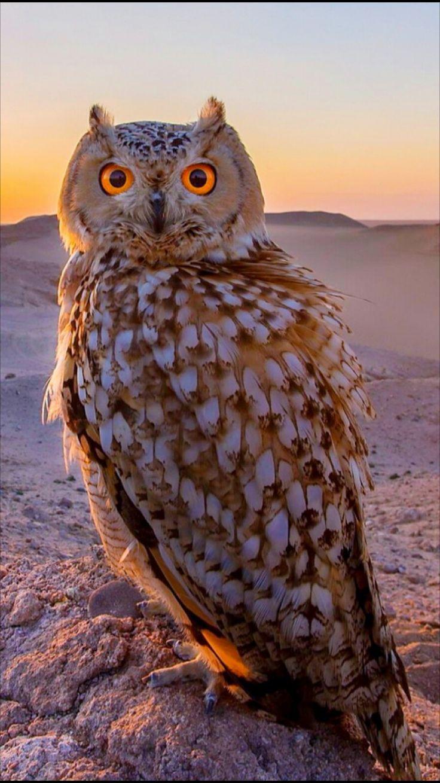 Pharaoh Eagle Owl .