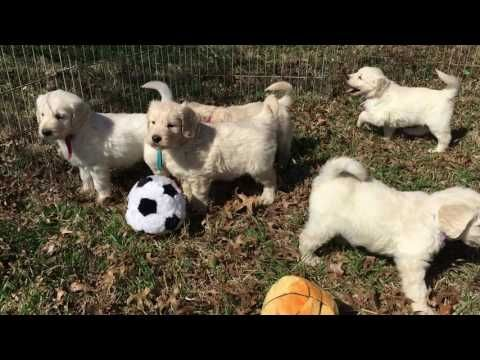 Brie/Bison English Creme Standard Goldendoodles...6 1/2 weeks old - YouTube