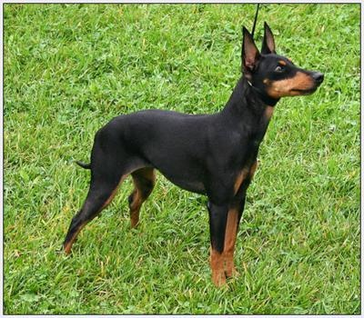 Manchester Terrier - Toy....I had one for 14 years! Trixie!