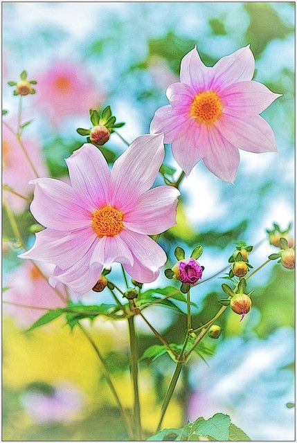 ~~Dreamer ~ Dahlia Imperialis by shinichiro*@Karen Jacot Jacot Aguilar~~