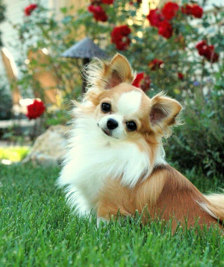 Chihuahua I would love to have this little guy.. ;-) #chihuahua #teacupchihuahua…