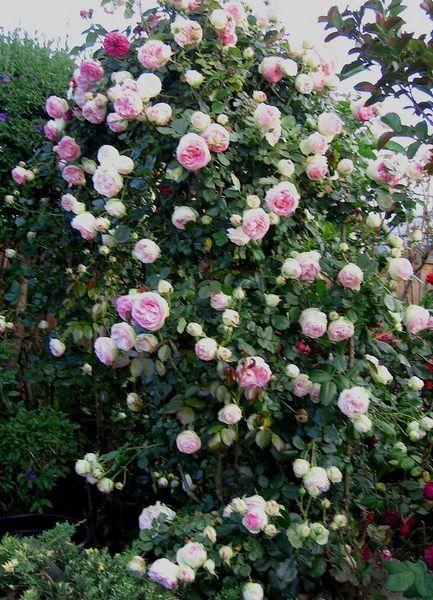 M s de 1000 im genes sobre plantas ornamentales trepadoras for Matas ornamentales