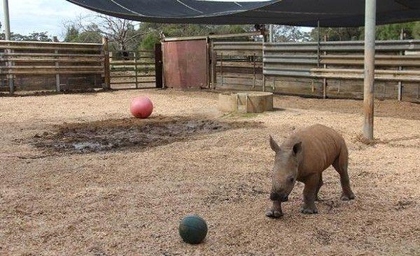 Детеныш белого носорога меняет место жительства - http://zoovestnik.ru/2013/09/15339/