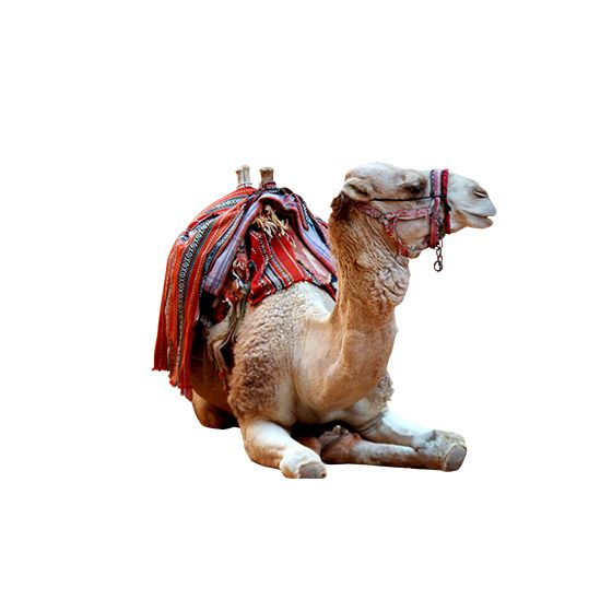 Camel photo png. 1000+ awesome free vector images, psd templates, icons, photos…