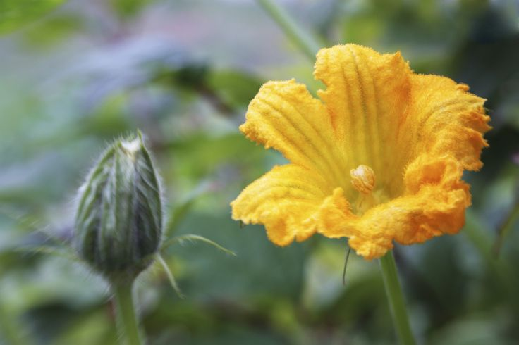 Do pumpkins selfpollinate? Or should you give the plant a hand and, if so, how to hand pollinate pumpkins? The following article contains information about the pollination of pumpkin plants and hand pollinating pumpkins.