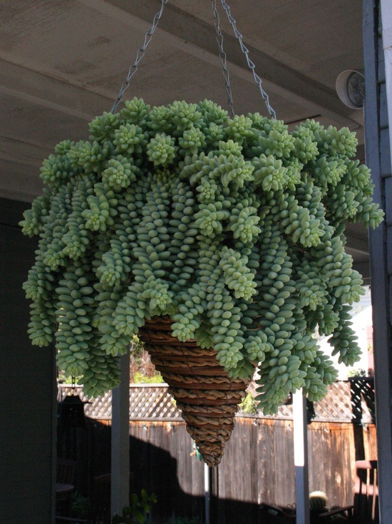 Sedum morganianum (Donkeys Tail, Lambs Tail, or Burros Tail co...