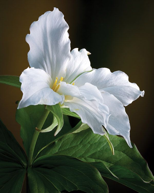 Trillium - Ontario's provincial flower, found on the roadsides and in the woods.  Gorgeous!
