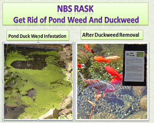 NBS Rask pond duckweed and pond weed control product. Effectively kills off pond weeds and give clear water free from duckweed. Free Delivery Worldwide available.