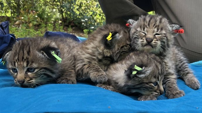 Bobcat That Survived California Wildfire Gives Birth To Four Kittens Kittens Animal Activities For Kids California Wildfires