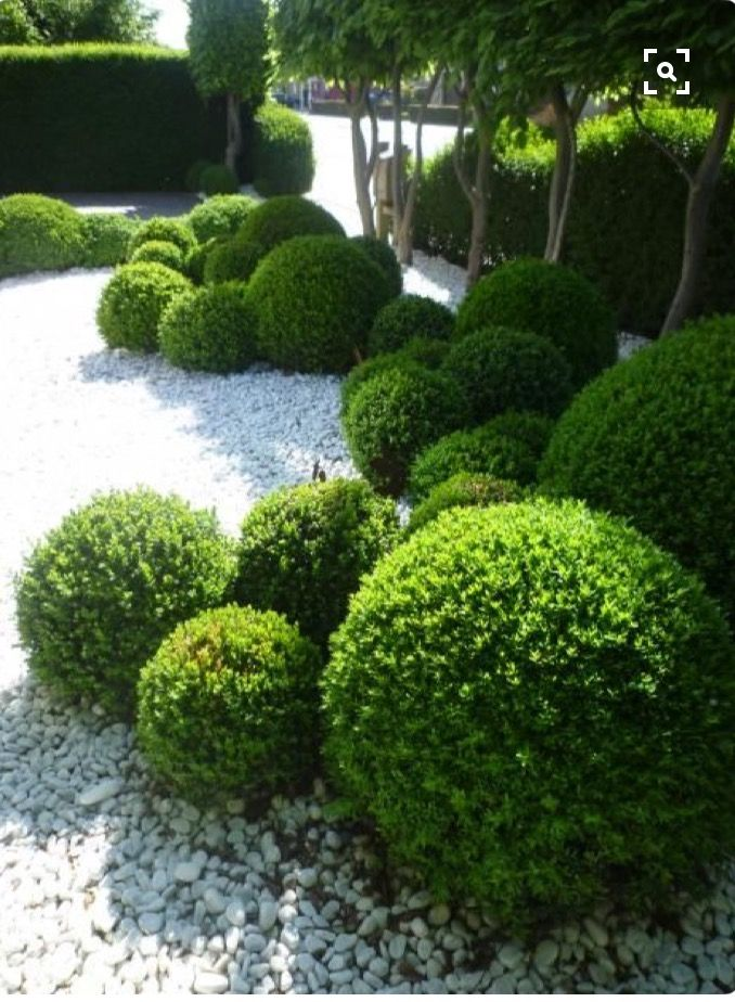 More boxwood love!
