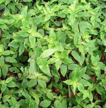 inspiration house plants vines - House Plants Vines