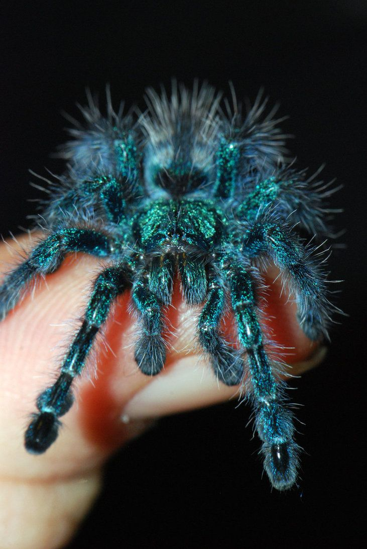Avicularia versicolor  babies start off blue like this they change.. Check out my pics of my tarantula Sihu.