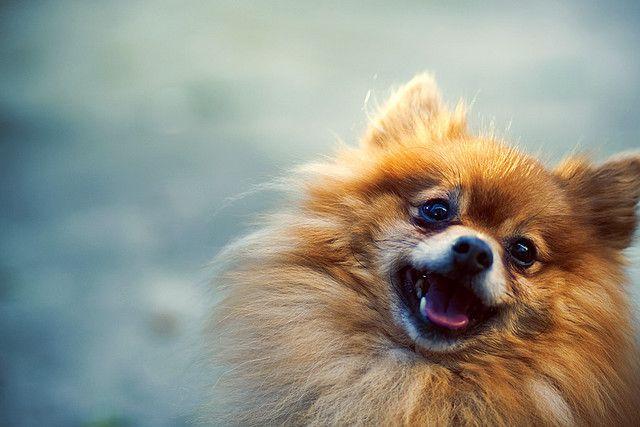 awww.: Pomeranians Dogs, Happiest Pomeranians, Animal Smiley, Smile Animal, Happy Animal, Smile Dogs, Miss My Dogs, Foxy Girls, Adorable Animal