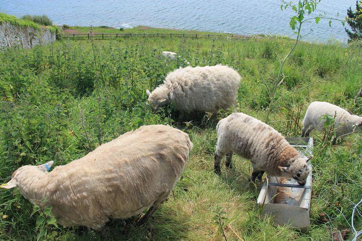 Owieczki w St. Mawes - Anglia, Kornwalia