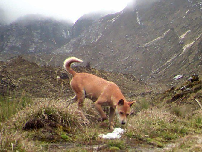 After decades of fearing that the New Guinea highland wild dog had gone extinct in its native habitat, researchers have finally confirmed the existence of a healthy, viable population, hidden in one of the most remote and inhospitable regions on E
