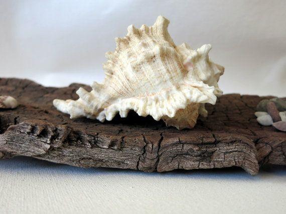 Murex Seashell 4  Murex Chicoreus Ramosus by MrsBeachComber