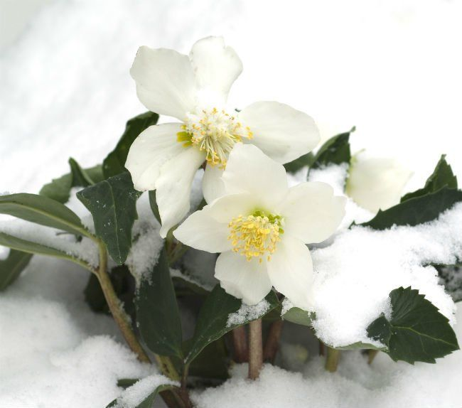 Solved 8 Flowers Sure To Bloom In Winter Winter Flowers Christmas Rose Winter Garden