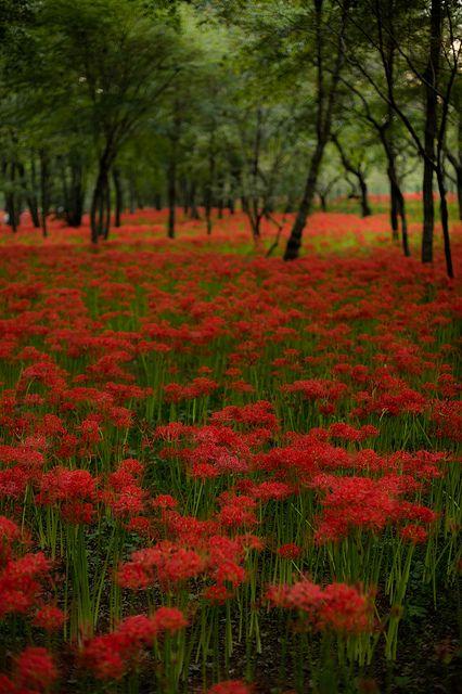 Spider lilies field at Kinchakuda, Saitama, Japan