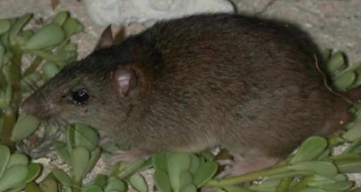Australian Mammal Becomes First to Go Extinct Due to Climate Change - http://www.australianetworknews.com/australian-mammal-becomes-the-first-to-go-extinct-due-to-climate-change/