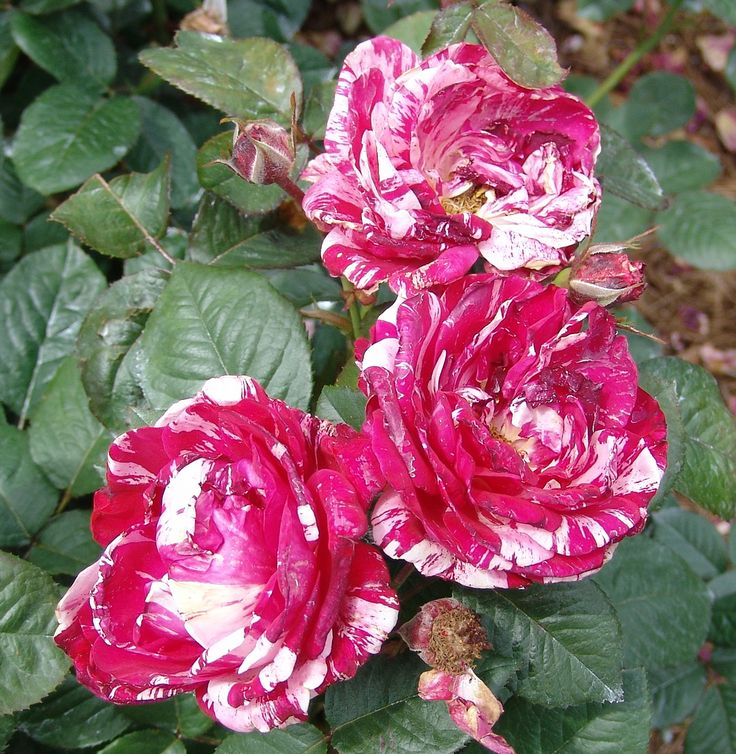Pruning roses is a necessary part of keeping rose bushes healthy. But many people have questions about cutting back roses and how to trim roses back the right way. This article will help with that.