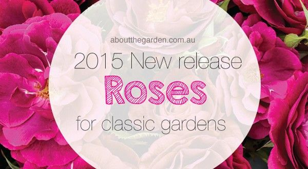 Treloar Roses New Release 2015 | About The Garden Magazine